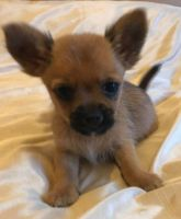 Chorkie Puppies for sale in Belton Honea Path Hwy, Belton, SC 29627, USA. price: NA