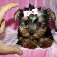 Chorkie Puppies for sale in Texas St, Fairfield, CA 94533, USA. price: NA