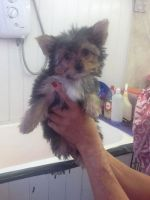 Chorkie Puppies for sale in Edison, NJ 08837, USA. price: NA