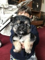 Chorkie Puppies for sale in Charleston, SC, USA. price: NA