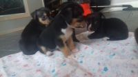 Chorkie Puppies for sale in Colorado Springs, CO, USA. price: NA