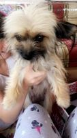 Chorkie Puppies for sale in San Diego, TX 78384, USA. price: NA