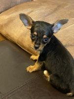 Chorkie Puppies Photos