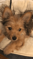 Chorkie Puppies for sale in Little Rock, AR, USA. price: NA