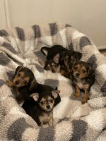 Chorkie Puppies for sale in Perry, FL, USA. price: NA