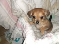 Chorkie Puppies for sale in Colbert, GA 30628, USA. price: NA