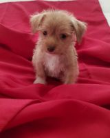 Chorkie Puppies for sale in CA-18, Apple Valley, CA, USA. price: NA