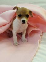 Chorkie Puppies Photos