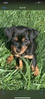Chorkie Puppies for sale in Redford Charter Twp, MI, USA. price: NA