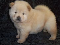 Chow Chow Puppies for sale in Roderfield, WV 24828, USA. price: NA