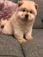Chow Chow Puppies for sale in California St, San Francisco, CA, USA. price: NA