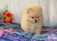 Chow Chow Puppies for sale in Texas City, TX, USA. price: NA