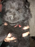 Chow Chow Puppies for sale in Lakeland, FL, USA. price: NA