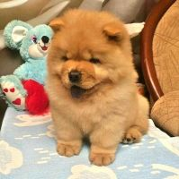 Chow Chow Puppies for sale in Bakersfield, CA, USA. price: NA