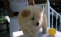 Chow Chow Puppies for sale in Chicago Heights, IL, USA. price: NA
