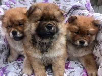 Chow Chow Puppies for sale in Charleston, SC, USA. price: NA