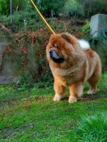 Chow Chow Puppies for sale in Mims, FL, USA. price: NA