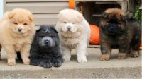 Chow Chow Puppies for sale in Columbus, OH 43215, USA. price: NA