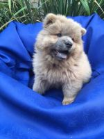 Chow Chow Puppies for sale in Colorado Springs, CO, USA. price: NA