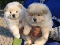 Chow Chow Puppies for sale in Utah County, UT, USA. price: NA