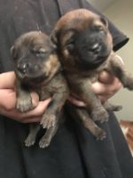 Chow Chow Puppies for sale in Hartford, CT 06105, USA. price: NA