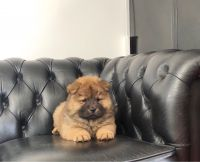 Chow Chow Puppies for sale in Houston, TX, USA. price: NA