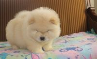 Chow Chow Puppies for sale in Sacramento, CA 95834, USA. price: NA