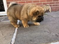 Chow Chow Puppies for sale in Pittsburgh, PA, USA. price: NA
