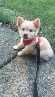 Chow Chow Puppies for sale in Southfield, MI, USA. price: NA