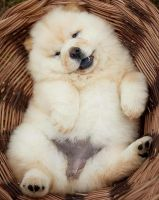 Chow Chow Puppies for sale in Lawrenceville, GA, USA. price: NA