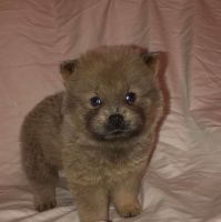 Chow Chow Puppies for sale in Oak Park, IL, USA. price: NA