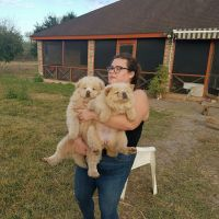 Chow Chow Puppies for sale in Gillette, WY, USA. price: NA