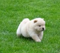 Chow Chow Puppies for sale in Menifee, CA 92587, USA. price: NA