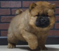Chow Chow Puppies for sale in Phoenix, AZ 85019, USA. price: NA