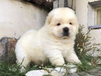 Chow Chow Puppies for sale in Sacramento, CA 95820, USA. price: NA