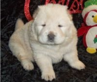 Chow Chow Puppies for sale in Richmond, VA, USA. price: NA