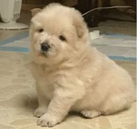 Chow Chow Puppies for sale in Boston, MA 02114, USA. price: NA