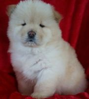 Chow Chow Puppies for sale in Mountain Brook, AL 35209, USA. price: NA