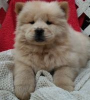 Chow Chow Puppies for sale in Madison, WI 53707, USA. price: NA