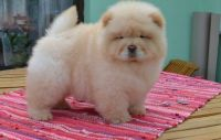 Chow Chow Puppies for sale in Milwaukee, WI 53218, USA. price: NA