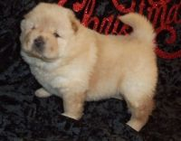 Chow Chow Puppies for sale in Boston, MA 02123, USA. price: NA