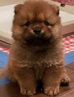 Chow Chow Puppies for sale in Columbus, OH, USA. price: NA