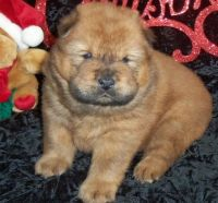 Chow Chow Puppies for sale in Detroit, MI 48227, USA. price: NA
