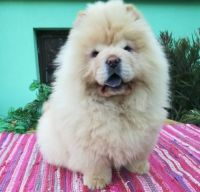 Chow Chow Puppies for sale in Indianapolis, IN 46218, USA. price: NA