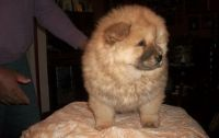 Chow Chow Puppies for sale in Denver, CO 80219, USA. price: NA