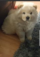Chow Chow Puppies for sale in Jonesborough, TN 37659, USA. price: NA