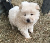 Chow Chow Puppies for sale in Omaha, NE, USA. price: NA