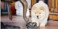 Chow Chow Puppies for sale in Waterbury, CT, USA. price: NA
