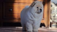 Chow Chow Puppies for sale in Phoenix, AZ, USA. price: NA