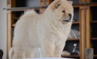 Chow Chow Puppies for sale in Baltimore, MD, USA. price: NA
